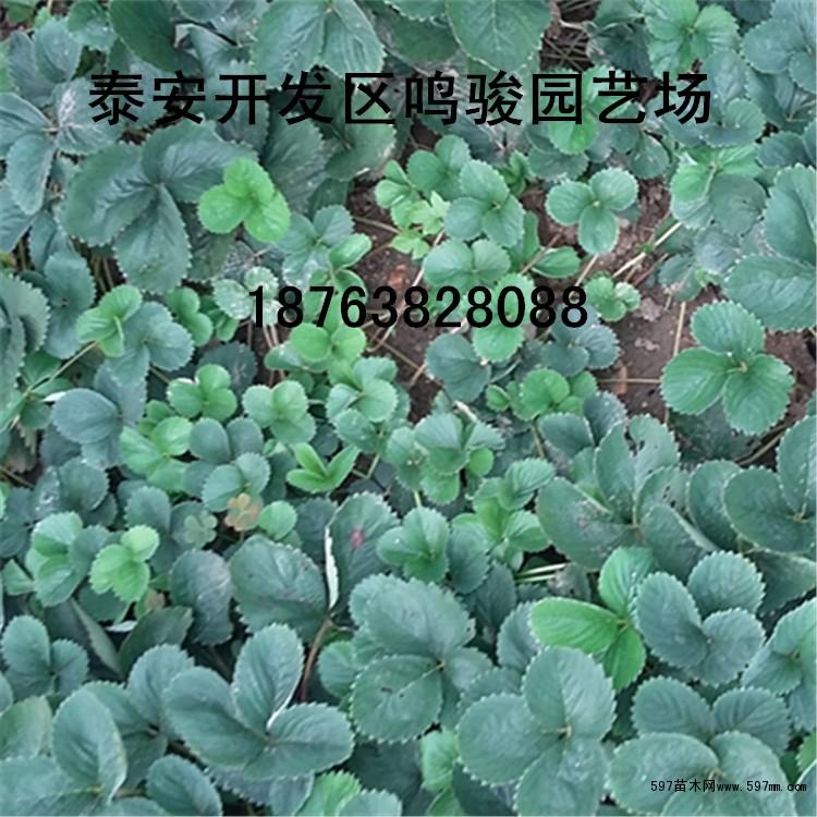 咸阳草莓苗