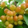 优质大樱桃苗 大樱桃苗有什么品种 红灯大樱桃苗