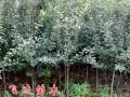 西府海棠 (1图)