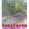 山东樱花树价格 樱花多少钱一棵 2公分樱花树多少钱一棵