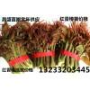 最新山西红香椿苗批发价格红香椿苗多少钱一棵