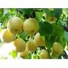 梨樹苗供應 種植技術