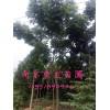 南京欒樹價格17公分18公分19公分20公分欒樹