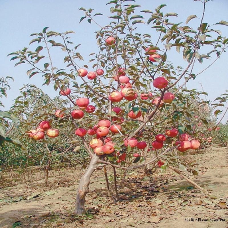 苗圃培育优质苹果树苗 烟富1 2 3 6号苹果树苗规格齐全
