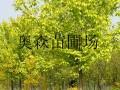 国槐,白蜡,垂柳,法桐