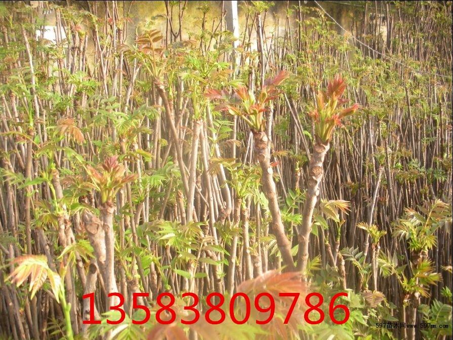 谁知道大棚香椿苗种植技术