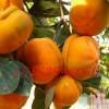 磨盘柿子苗多少钱 哪里有磨盘柿子苗 磨盘柿子苗批发