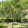 山西柿子树苗 山西柿子树 3公分柿子树多少钱