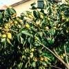 福建柿子树苗 福建柿子树苗多少钱 福建柿子苗价格