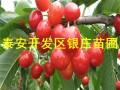 吉塞拉樱桃树