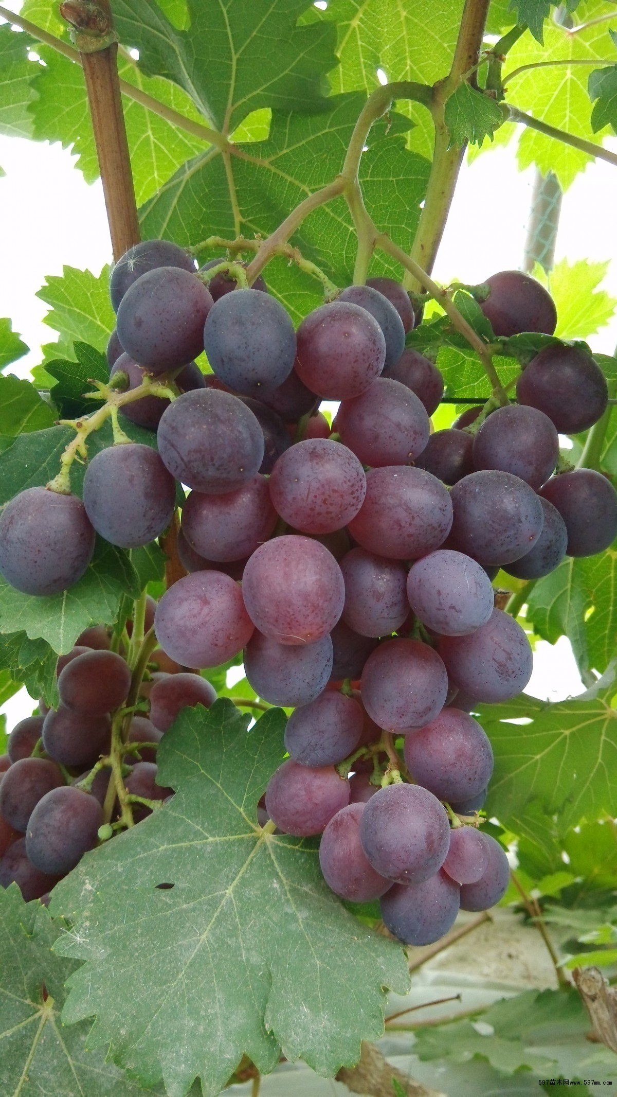 早熟葡萄品种有哪些适合大棚种植的早熟葡萄品种有