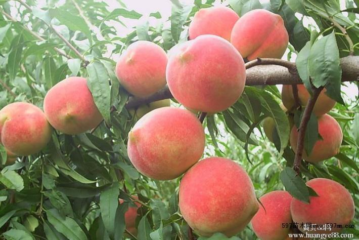 微信头像水果树