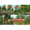15公分椿树价格