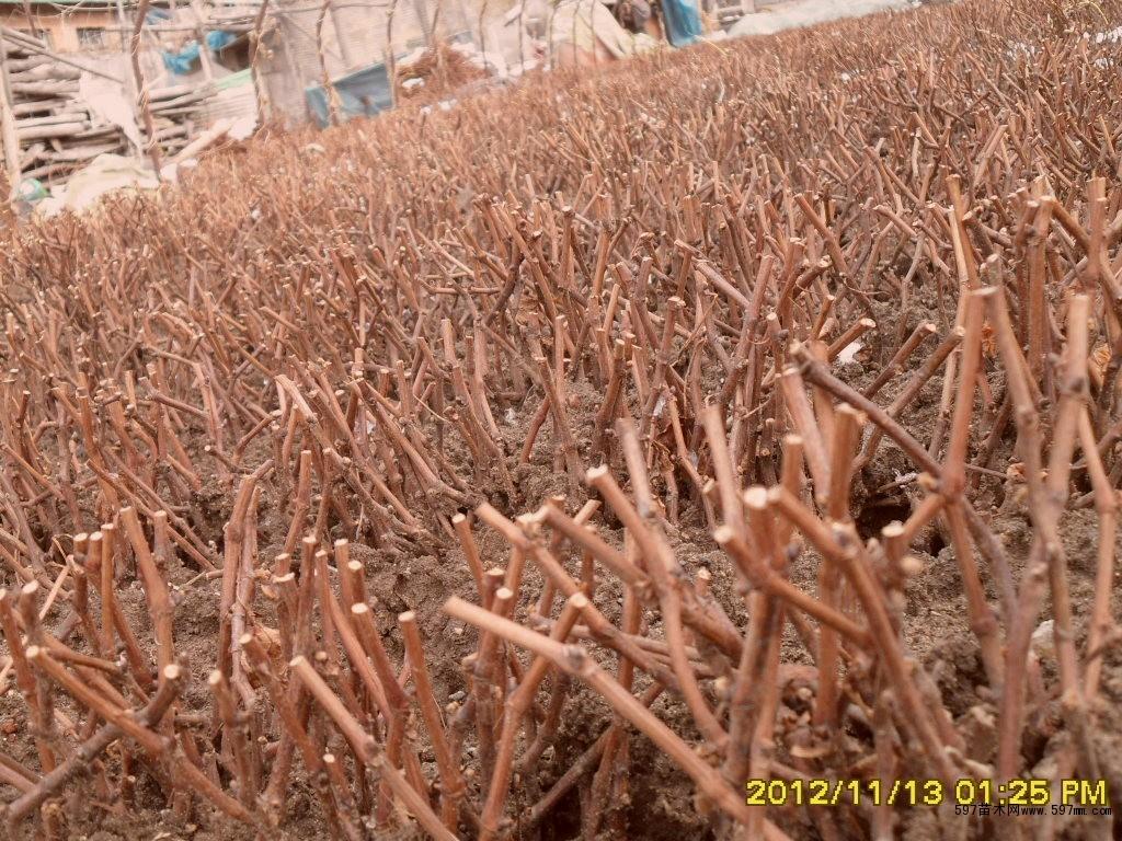 内蒙古巨峰葡萄苗价格|果树小苗|苗木|苗木报价|597