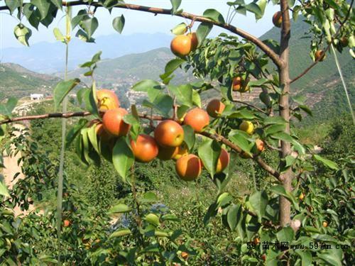 壁纸 矢量 水果 小果 植物 500_375