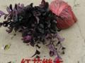 红花继木、麦冬草