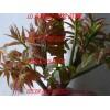 大棚香椿苗品种、大棚香椿苗种植技术