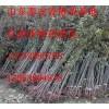 山東紅油香椿苗、山東紅油香椿苗基地