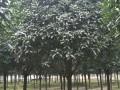 桂花、水杉