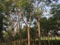 香樟栾树朴树造型