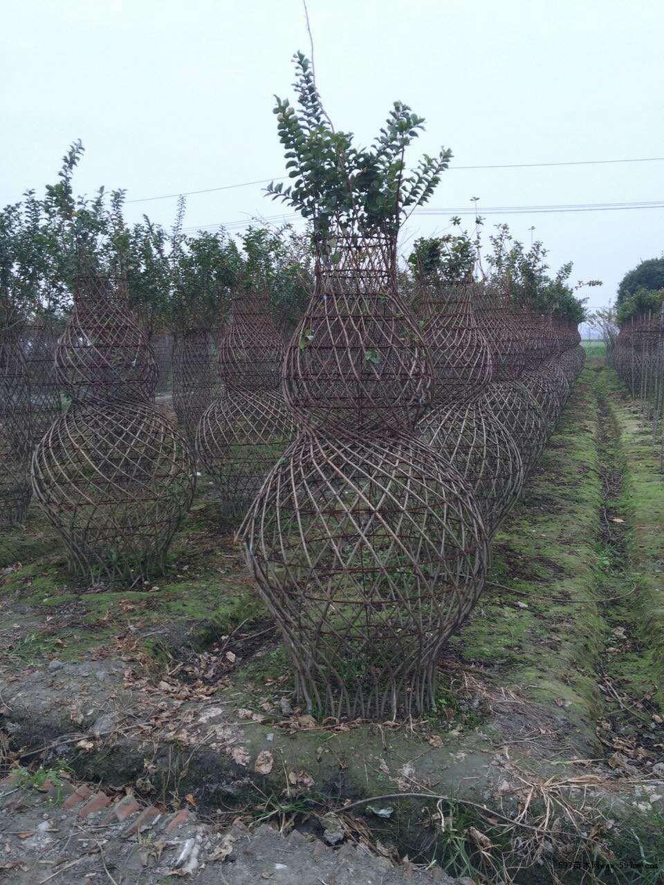 千蜀园林紫薇造型花瓶图片|苗木|苗木图库|597苗木网