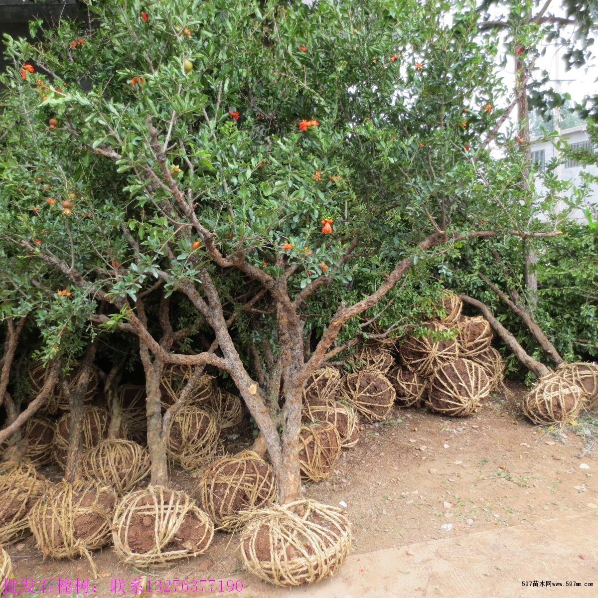 规格从一年生小苗到40厘米粗百年大树都有.