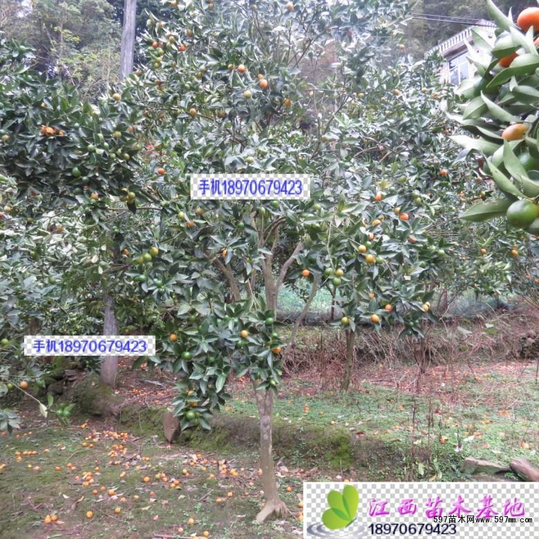 长寿果树养护方法