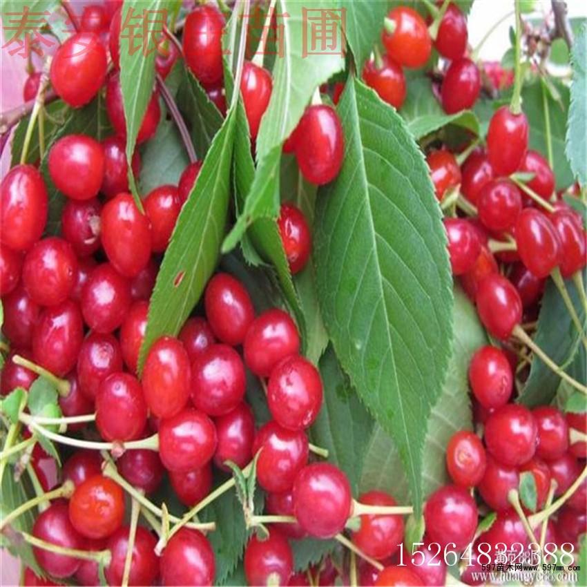 山东吉塞拉樱桃树苗价格 矮化砧木樱桃树苗多少钱一棵