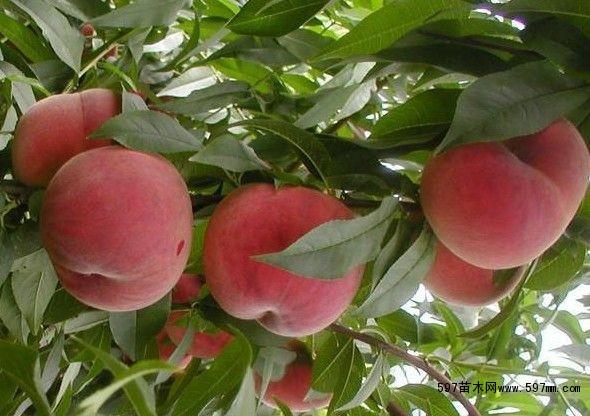 河北桃树苗0.8以上桃树苗