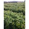 香樟小苗供应、一年香樟芽苗|当年生大叶樟价格|绿化小苗