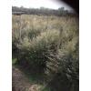 供应一年生红豆杉小苗、2年40公分高红豆杉、1米高红豆杉价格