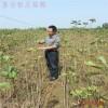 银杏树苗价格 1米银杏树苗多少钱一棵