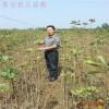 供应优质银杏树苗价格 1.5米银杏树苗多少钱一棵