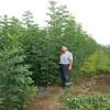 山東白蠟樹價格 供應白蠟樹苗多少錢一棵 工程白蠟樹價格