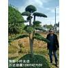 高2-3米地径10-12-15-20公分造型小叶女贞树桩价格