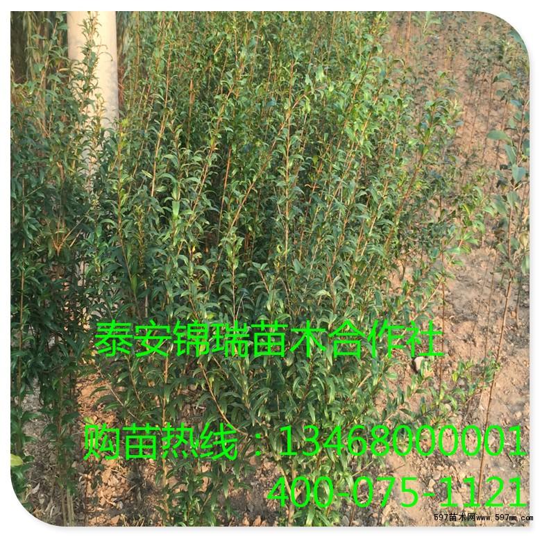 果农直销石榴树苗 嫁接石榴树苗 包成活 包纯度