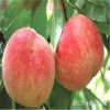 供应桃树苗价格 映霜红桃树苗多少钱一棵