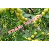 枣树苗基地优质枣树苗价格嫁接枣树苗新品种