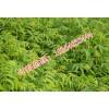 红油香椿树苗占地香椿树苗大棚香椿树苗基地价格