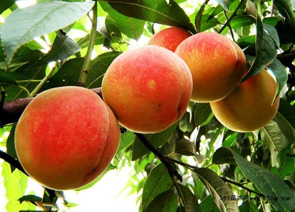 花椒苗:大红袍花椒苗   大量供应3-8公分 :   苹果树,桃树,杏树