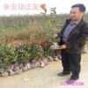 供应北方红叶石楠价格 苗圃处理1.5米红叶石楠球多少钱一棵