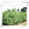 特价新采林木种子 苗木种子 花卉种子 造林树种马尾松种子批发