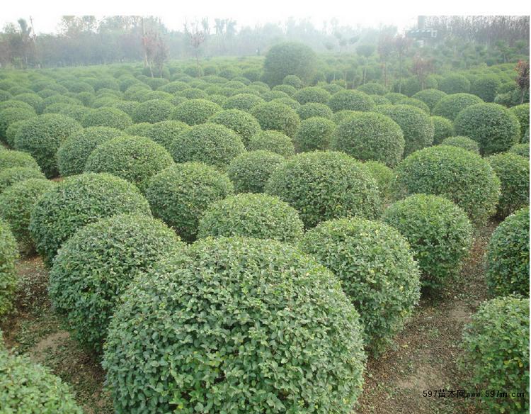 园林常用植物以及它们的常用高度冠幅问:灌木乔木绿篱花草答:序号名称