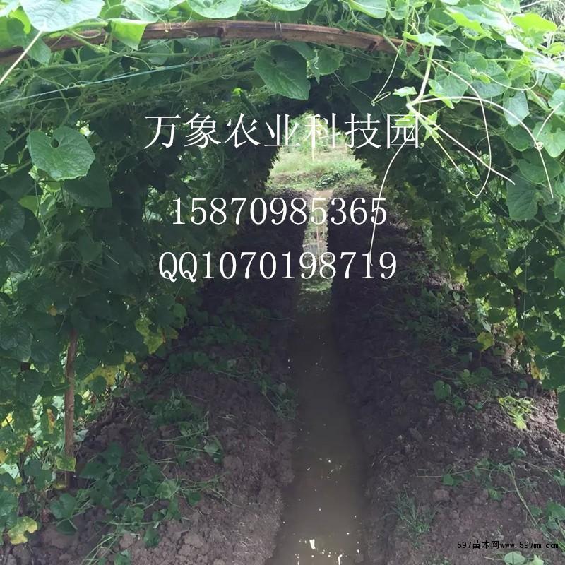 高产大个火参果种子批发 藤本植物 绿化苗木 供应信息