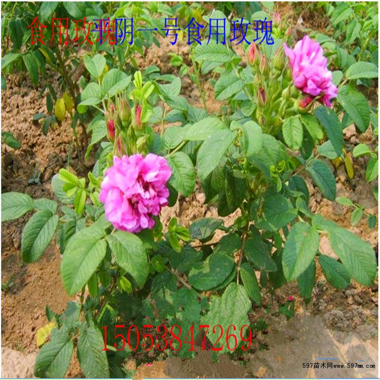 四季玫瑰育苗,通常采用绿枝扦插的方法