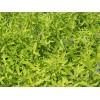 供應基地綠化小苗金葉蕕多種規格
