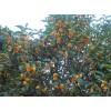 基地直銷桂花 多種規格