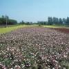 供應綠化苗木豐月花季