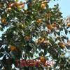 柿子苗 山东3公分5公分6公分柿子树苗价格泰安柿子小苗产地