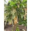 常年大量供應棕櫚